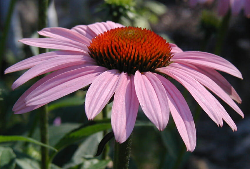what can echinacea heal