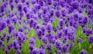 Healing Powers of Lavender – Easy to Make Recipes