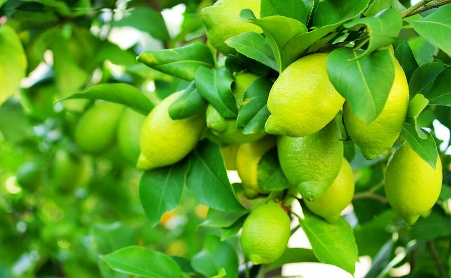 Healing Secrets And Health Benefits Of Lemon