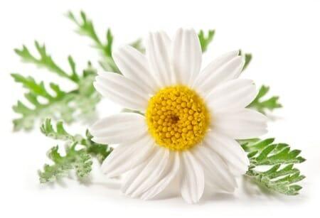 camomile plant