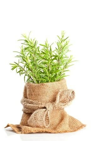 The Forms of Rosemary Plant and Side Effect