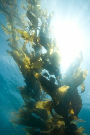 What is Kelp?