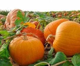 13 Reasons Why You Should Eat Pumpkins