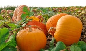 Digestive health – pumpkins promote healthy digestion