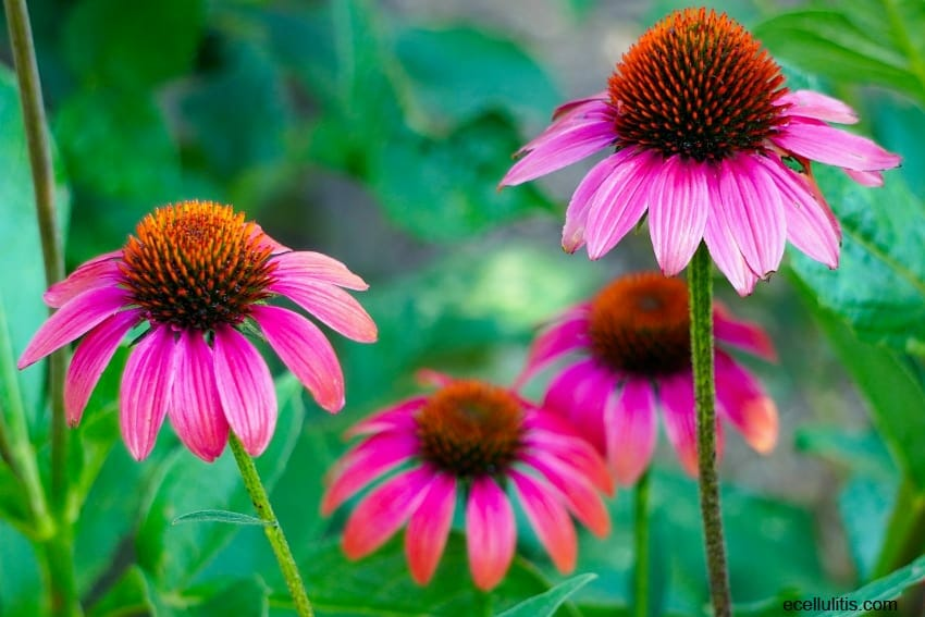Echinacea – A Powerful Natural Treatment for Cellulitis