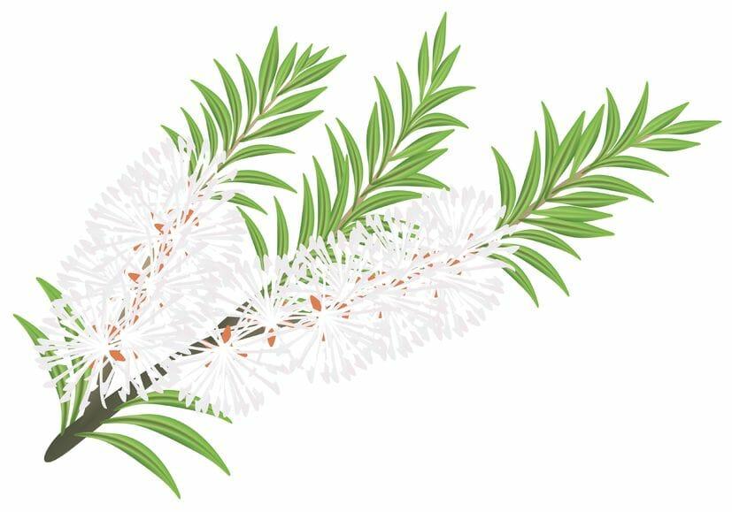 Melaleuca - tea tree