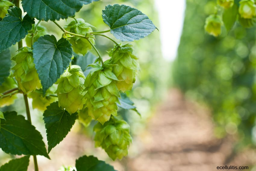 Hops Can Fight Insomnia The Best?