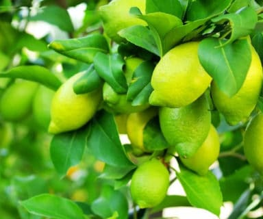 Things You Did Not Know About Lemon – Healing Secrets And Health Benefits