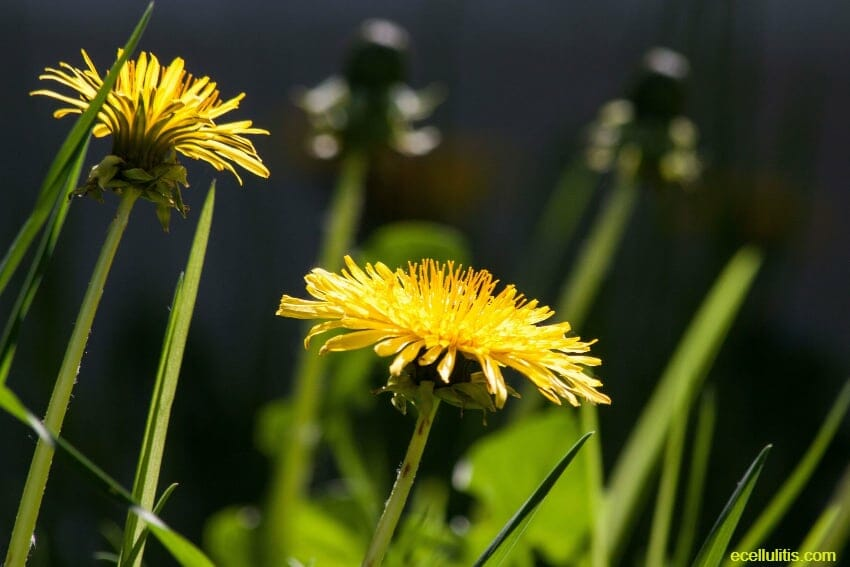 Dandelion as powerful remedy