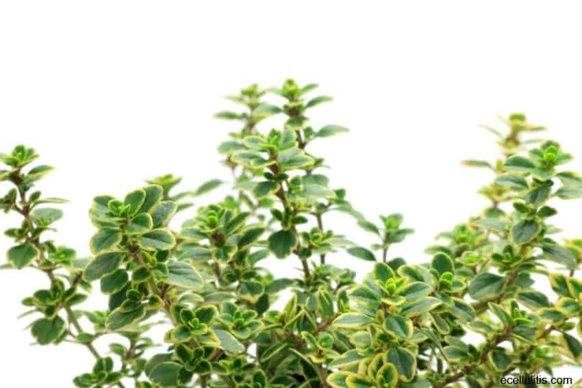 Lemon Thyme – Not Just A Garden Plant, But Powerful Medical Herb