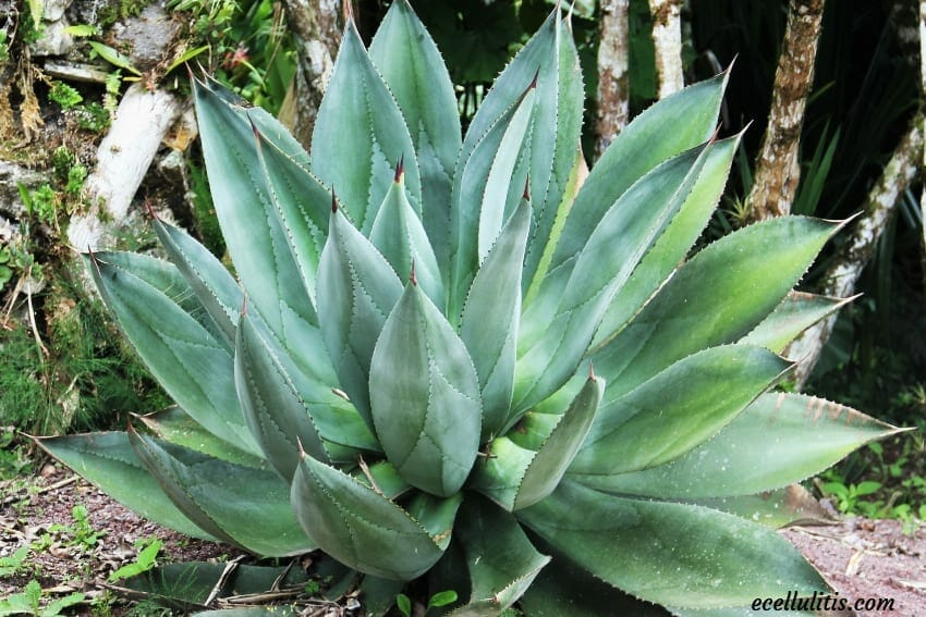 Aloe Vera - Powerful Plant