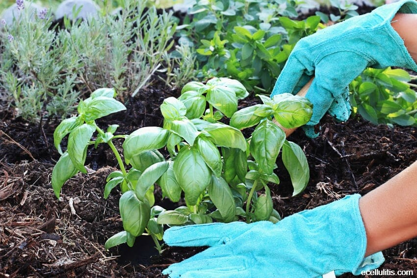 basil as a garden plant
