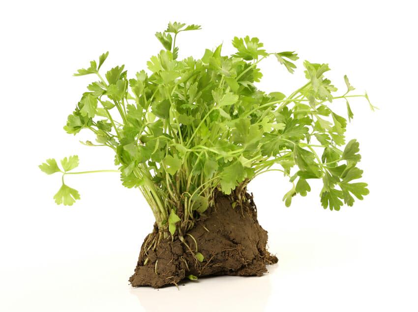 celery plant - health benefits