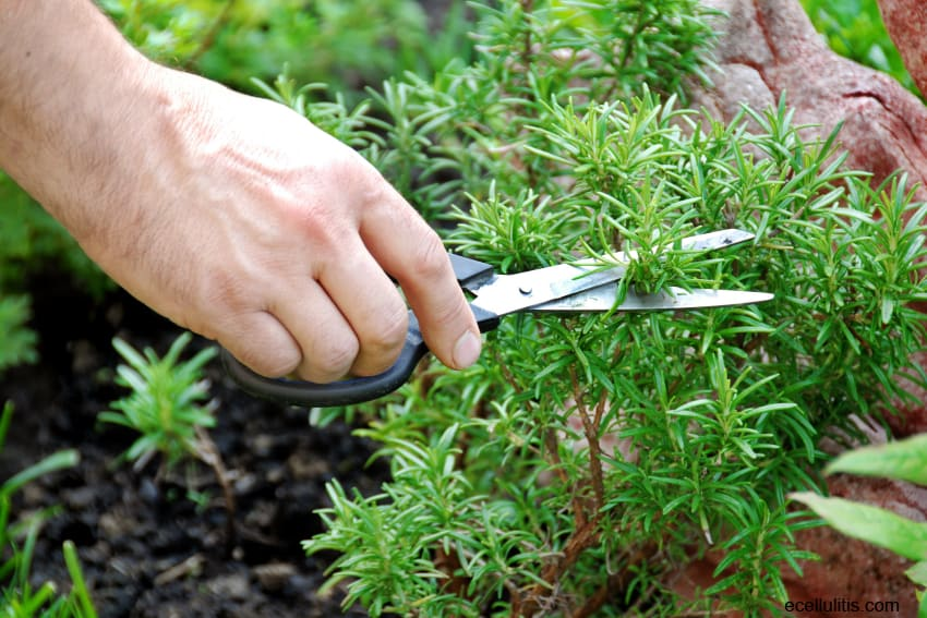 Rosemary - Benefits For Overall Health