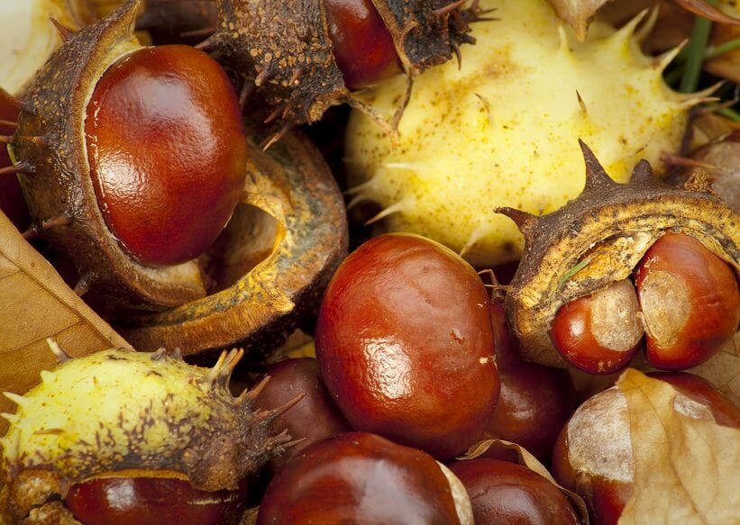 important fact about chestnuts