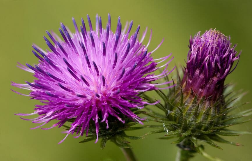 What is Burdock Root and What can we do with it?