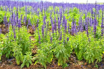 clary sage (salvia) essential oil