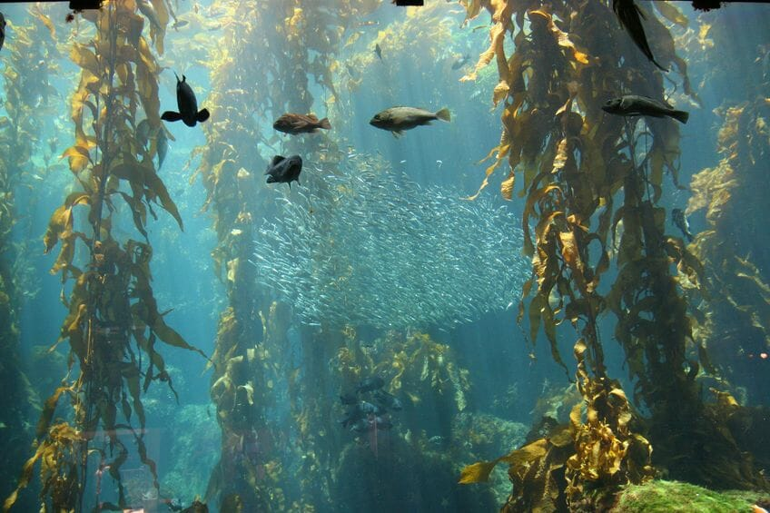 7 Must-Know Benefits Of Seaweed Kelp