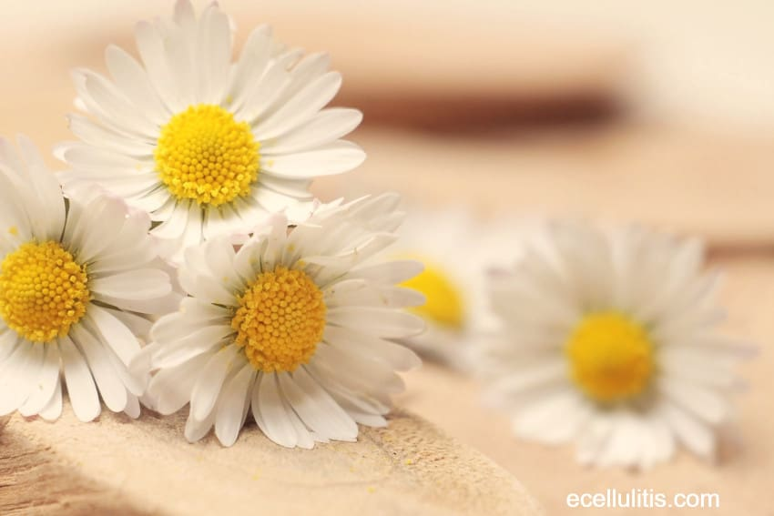 chamomile - winter skin protection