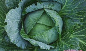 cabbage health benefits and fun facts