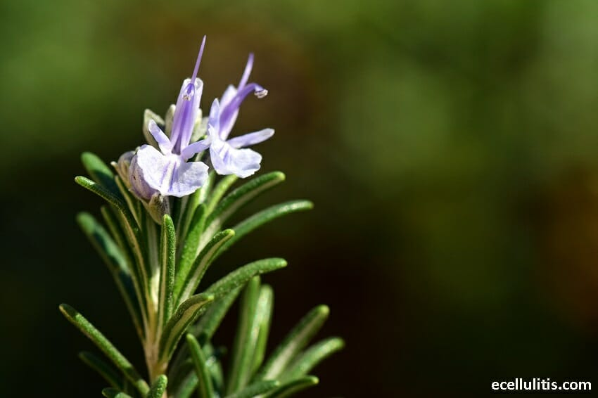 How to Keep Mosquitoes Away by Using Rosemary Oil
