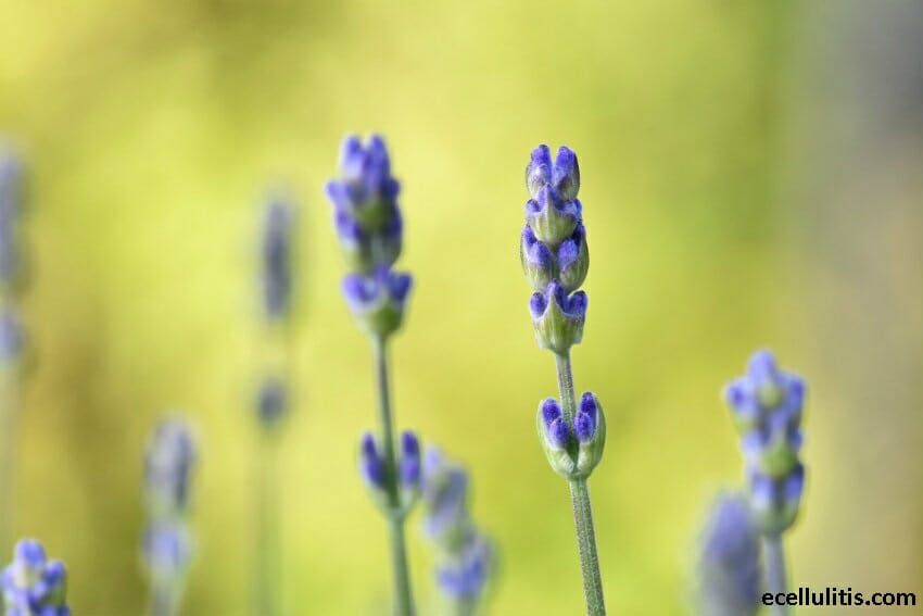 Keep Mosquitoes Away by Using Lavender Oil